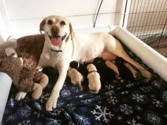 GEB Talent nursing her seven puppies in their whelping box.